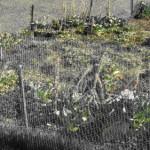 clip image00223 150x150 Savez vous planter les choux ?