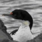 clip image00237 150x150 S.A.I. le cormoran
