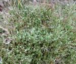 clip image00315 150x126 Invasion (2/2) : Les mauvaises herbes