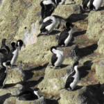 clip image00333 150x150 S.A.I. le cormoran