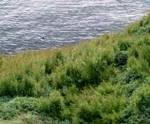 clip image00414 150x124 Invasion (2/2) : Les mauvaises herbes