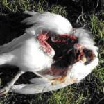 clip image00428 150x150 Minou, ce dangereux prédateur