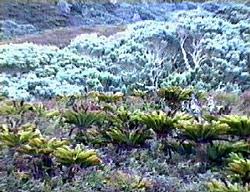 phylicaGoughSANA Amsterdam   Tristan da Cunha, îles jumelles à jumeler ?